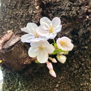 春 ♡ 桜