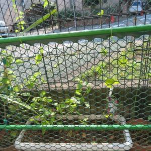 緑のカーテン計画(^_^)v