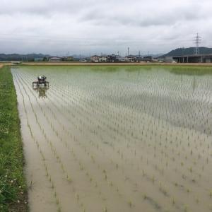 イセヒカリの除草作業