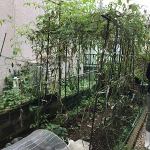 家庭菜園の夏の終わりの片付けをしました