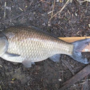 野尻湖② ついにヘラ49cm釣りました