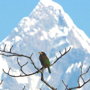 聖なる未踏峰に五色の鳥が浮かぶ! ~ネパールの野鳥(1)