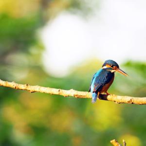 スリランカのカワセミ ~スリランカの野鳥たち(1)