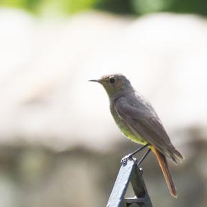 ピレネーの野鳥 シロビタイジョウビタキ