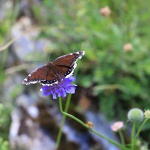 ピレネーの蝶 キベリタテハ