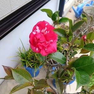 「ぜいたく椿」2輪咲いていました。