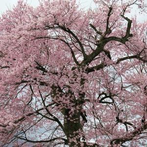 今朝の雨、桜には埃り落しかも、近隣満開「えどひかん桜」。