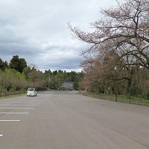 昔、市民の憩いの長山公園、「えどひかん桜」満開。