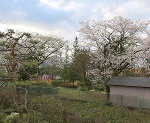 外出自粛の中、庭の借景「公園桜も満開」。