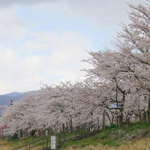 「勝山弁天桜」満開、お祭りなど中止でさみしい。