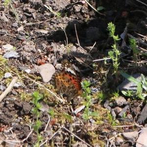 「ツマグロヒョウモン蝶 ・日本川とんぼ」庭の花壇へ飛来、少し早い。