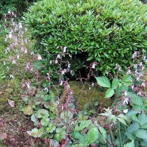 「ユキノシタ(雪の下)」の花可憐、風で吹雪。
