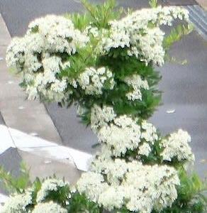 ピラカンサスの純白の花、可憐、いま花盛り。
