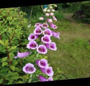 「ジキタリス」は、美しいですが強い毒のある花・・・。