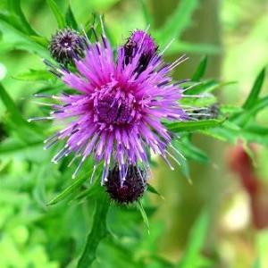 「野アザミ」は、「野に咲くアザミ」きれいに開花。