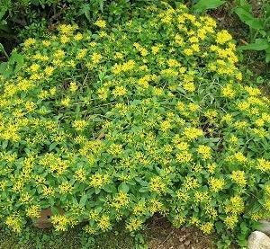 この鮮やかな黄色「キリンソウ」です。