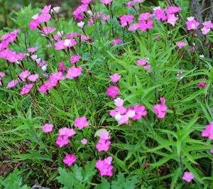 「カワラナデシコ」は、四季咲きの花、でも今一番。