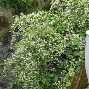 ♪「うの花のにおう垣根に・・・」♪、咲いています。