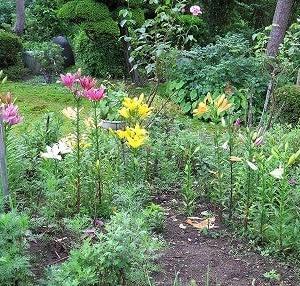 花壇の主役「スカシユリ」佳境、70%くらい開花。