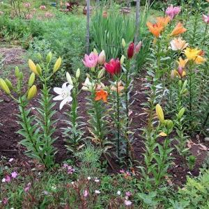 花壇の「スカシユリ」、色多彩、幾色あるのでしょう。