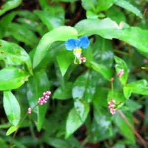 雑草「蛍草と赤まんま」、雨で鮮やか。