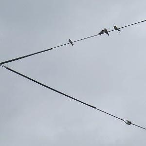 この時期、幼鳥も飛来「燕と野ばと」。