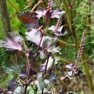 「赤しそ」の可憐な花開花。