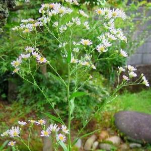 完全開花の「しおん」2種の花型。