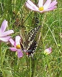 日本最大の蝶々らしい「モンキアゲハ」飛来。