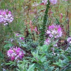 秋の象徴「コスモス」が花壇いっぱい、咲き乱れ。