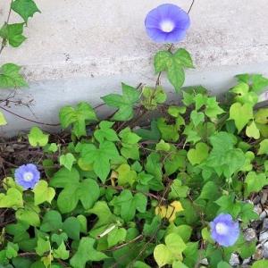強い「西洋朝顔」、切り戻しの「花魁草」。