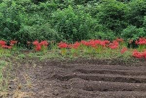 郊外で「曼殊沙華」発見、庭では・・・。