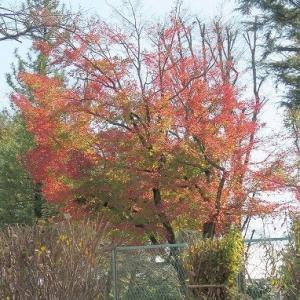 「公園の楓」紅葉ドキュメント、毎日続くコロナ24日1名発症。