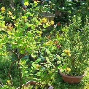 「ヒペリカム」は、金色の雄蕊が魅力的。