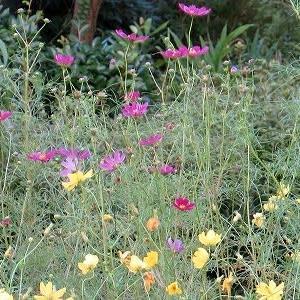 庭の「コスモスの秋」咲きそろい。