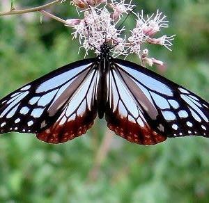 そして、ついに来ました「アサギマダラ」蝶。