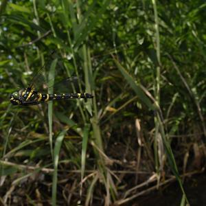 コヤマトンボ産卵動画