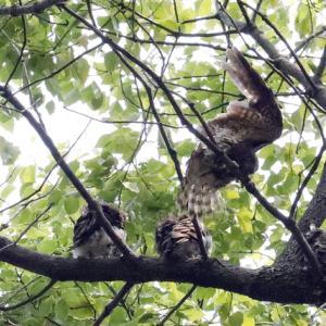 アオバズクの雌の飛翔