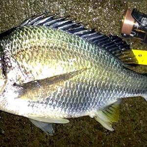 ソルトに挑戦!! バスアングラーの「チニング入門」 | クロダイ(チヌ),キビレをルアーで釣る