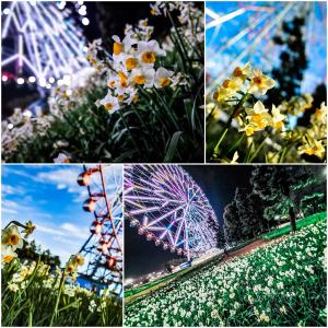 水仙畑は恋の花。