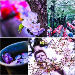 桜たちの願い事。