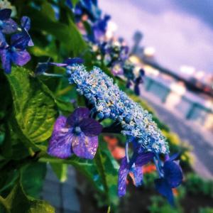紫陽花の恋。