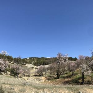 アーモンドの花と羊