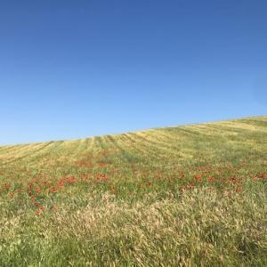 麦畑と羊と