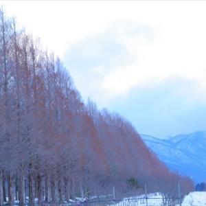 ★雪のメタセコイヤ並木へ♪