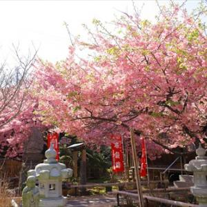 ★志摩の河津桜を楽しむ♪