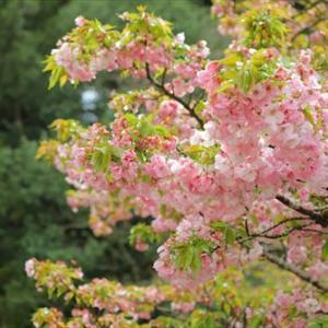 ★横輪桜を見てきました♪