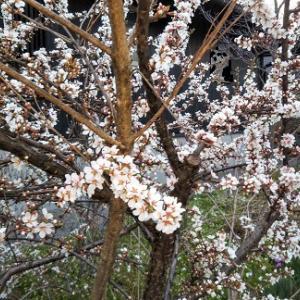 庭が春らしくなってきた。