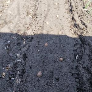 ジャガイモ植えました。・・・・薪スト129