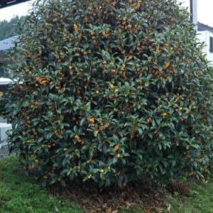秋の香りといえば、キンモクセイ